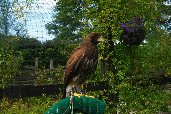 One of the hawks at the School of Falconry Dromoland Castle