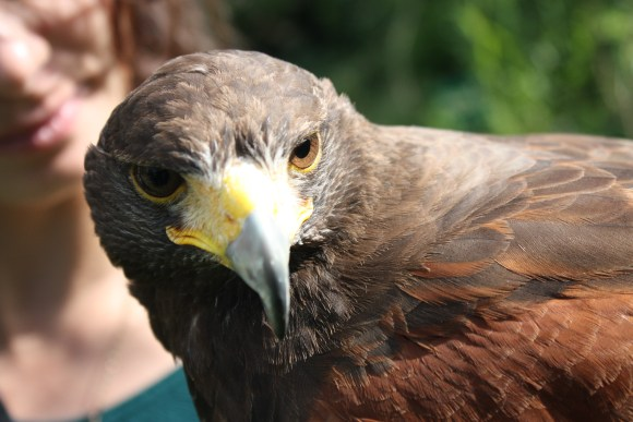 Bomber the Harris Hawk at The School of Falcony