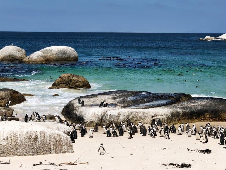 African Penguins at Boulder Beach - Cape Town