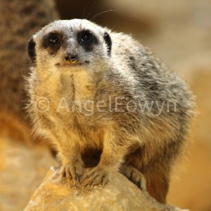 Just A Meerkat