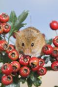 Harvest mouse - in hawthorn berries Bedfordshire UK 005943