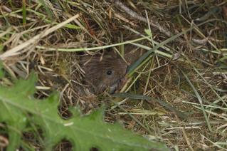 Short tailed field vole (Microtus agrestis) coming out of burrow