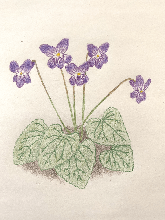 How To Draw A Violet Flower : violet, flower, Flower, Carnegie, Museum, Natural, History