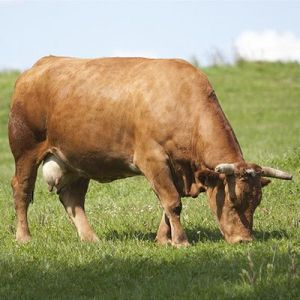 vaca rubia gallega.