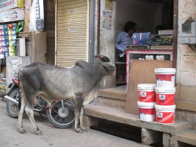 vache rue Jaisalmer