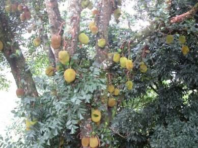 arbre à jaquier