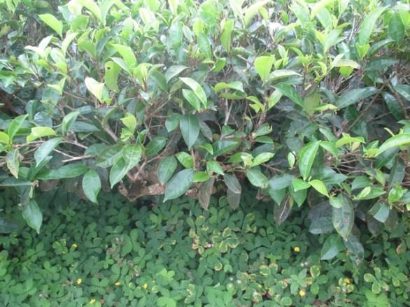 plant de thé