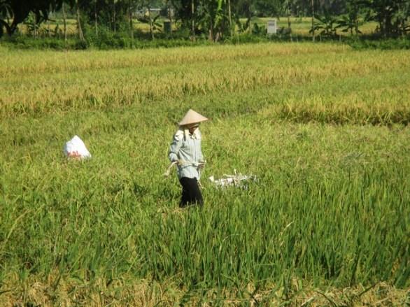 rizières de Tam Coc
