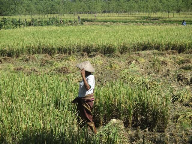 rizières sud de Lombok