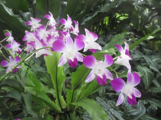 orchidée National Orchid Garden
