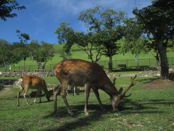 biches colline parc de Nara
