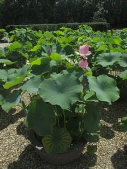lotus temple de Yakushi-ji