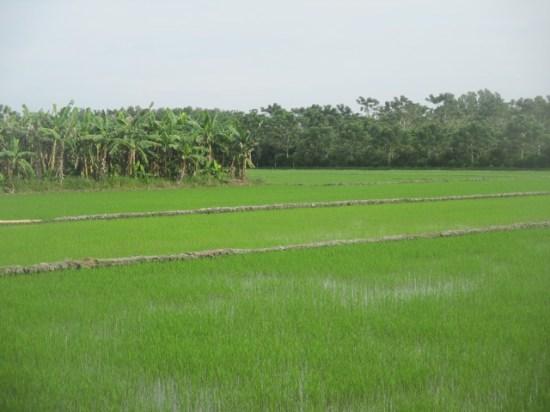 rizière delta Mékong