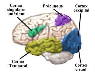 Sous hypnose, plusieurs aires cérébrales sont activées: le cortex visuel, le précuneus, le cortex occipital, le cortex cingulaire antérieur et le cortex temporal.