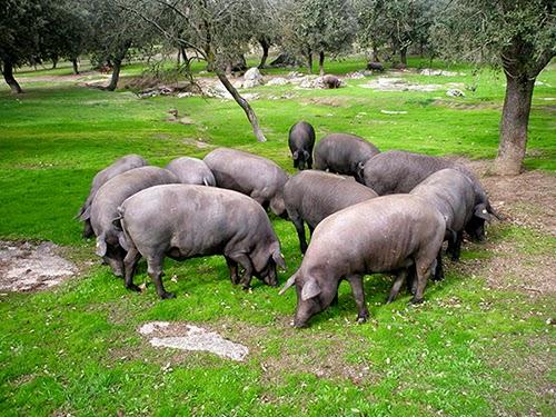 porc ibérique