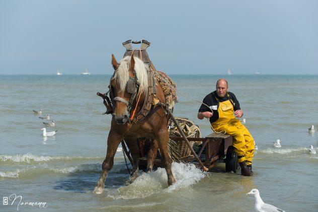 Les pêcheurs de crevettes à cheval