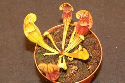 Sarracenia purpurea Jung
