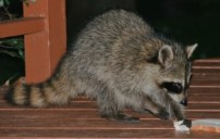 Raccoon Eating Bread