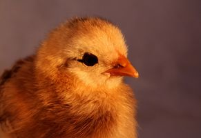 615x200_ehow_images_a07_gq_vm_difference-baby-hen-baby-rooster-800x800