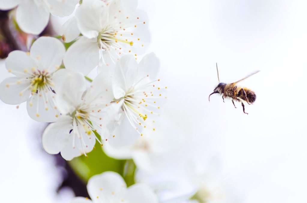 abeja carochan