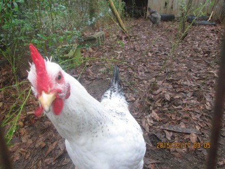 Isadore the Delaware rooster saying hello.