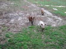 Here piggy piggy piggy.