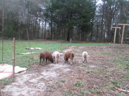 Pigs on the loose. Left to right: Piggy Sue, Barbecue, Miggery Sow, and Bacon.