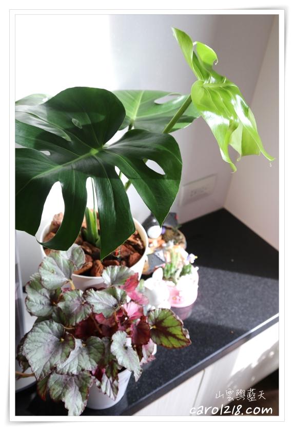北歐風植物,室內植物,室內盆栽,心葉椒草,森林有塊田,粉紅爵士秋海棠,自動澆水花盆,觀葉植物,麗格海棠,龜背芋