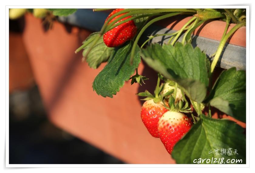 大湖採草莓,大湖酒莊,戀香草莓,採草莓,桔子甜咖啡,獅潭採草莓,苗栗採草莓,豐香草莓,高架草莓