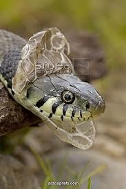 snake shed head img