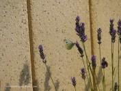 Besuch im Lavendel (c) Carola Peters