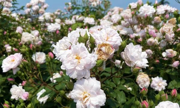 白玫瑰花海