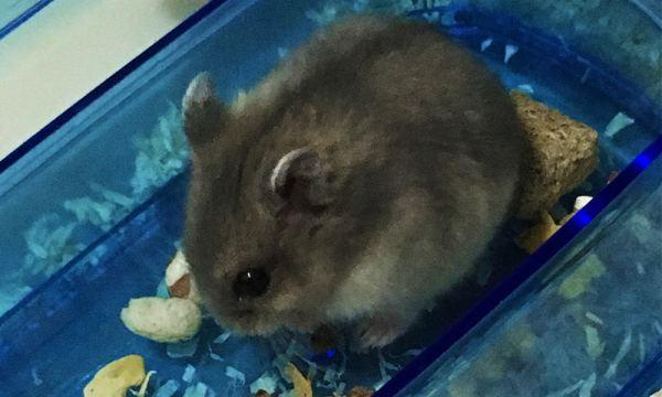 兩個月大的倉鼠