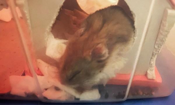 倉鼠白天多在睡覺