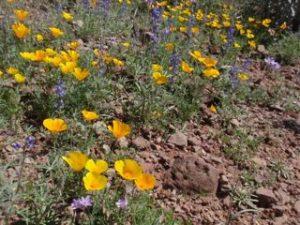 Desert blooms, Lake Pleasant, Arizona
