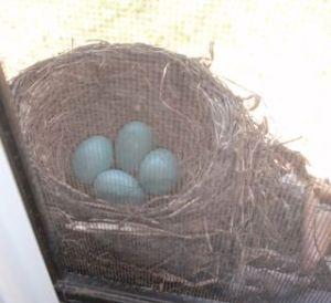 Four Robin Egg Nest