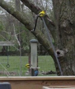 Two Goldfinches and an Indigo bunting