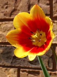 Tulip Brick