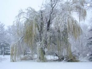 How much can an old willow tree take?