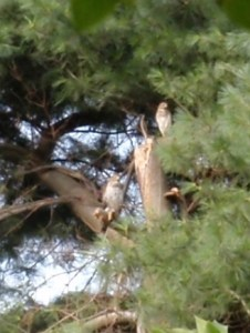 Two Red-tailed hawks in ta pine tree