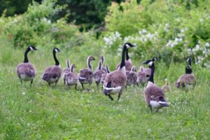Out visitors were similar to this gaggle. http://10000birds.com/the-canada-goose.htm