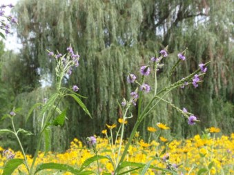 Willow tree - Blue Vervain