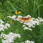 Orange butterfly on Whorled Milkweed