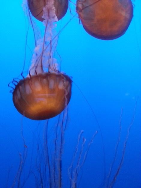 Jellyfish in their graceful dance