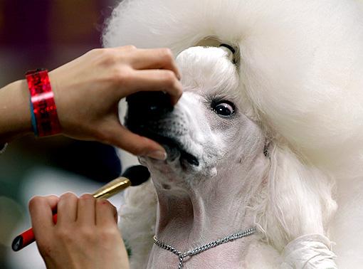 westminster-dog-show-standard-poodle_510