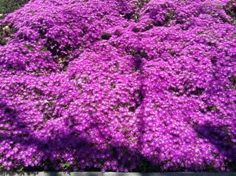 A carpet of ice plant signifying the start of spring