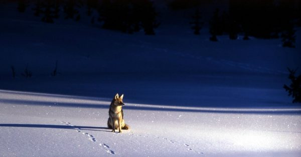 coyote-medicine