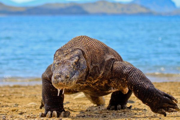 Komodo-dragon