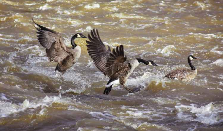 flock of birds flapping wings flying under fast river