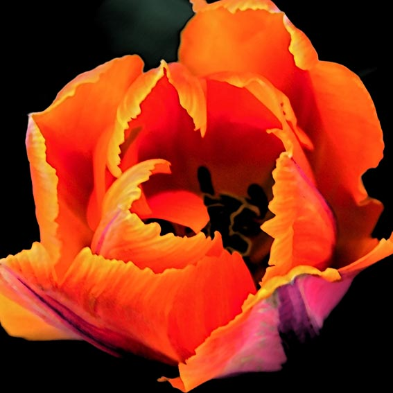 tulip-black-background-dsc_0943_2sf